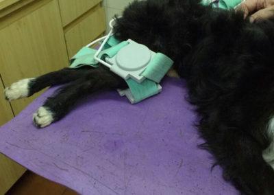 El equipo de la Dra. Graciela Sterin de http://rehabilitacionvet.com.ar/ realiza tratamientos de rehabilitación en pequeños animales con equipos E-VET