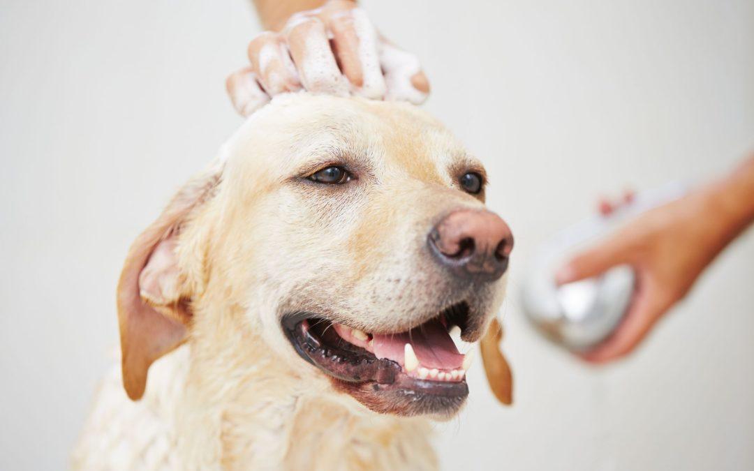 Bienestar y salud en tus mascotas: ¿Con qué frecuencia debo bañar a mi perro?