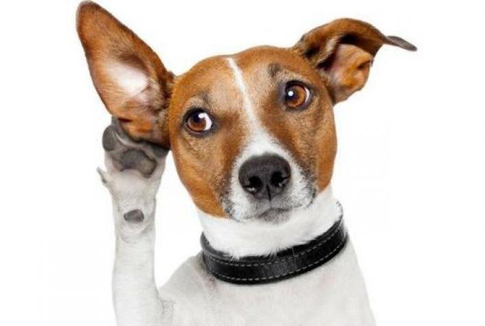 Cuidados: La limpieza de oídos en las mascotas