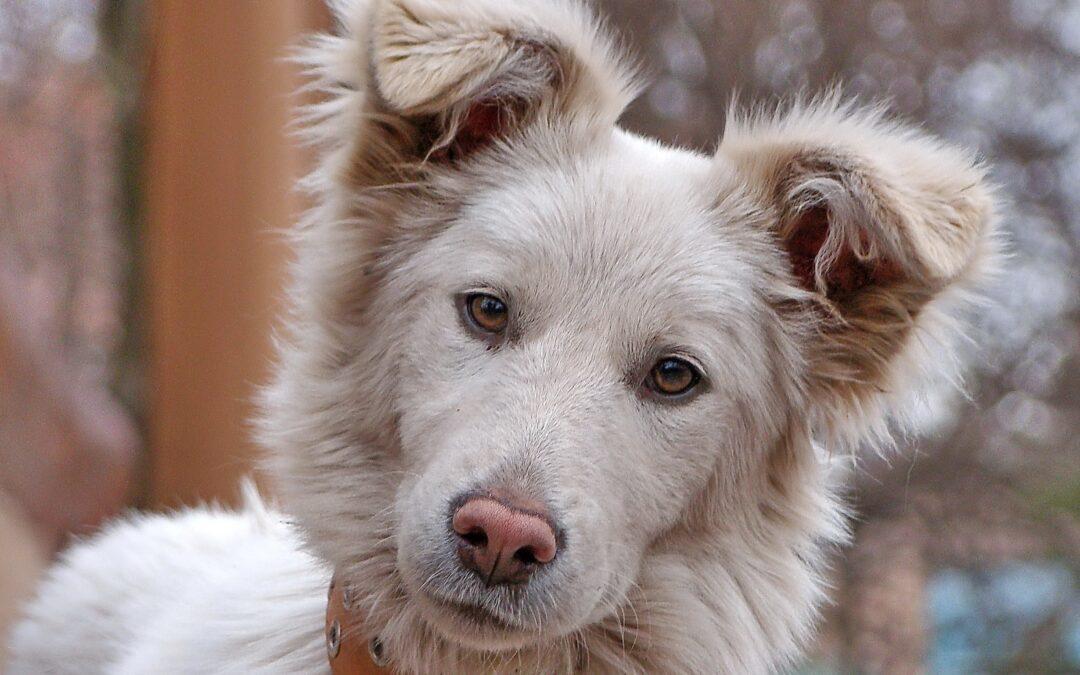 Predisposición de los perros a tener otitis