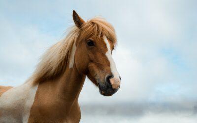 Avena para caballos, un ingrediente tradicional de su alimentación